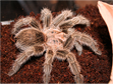 South African Terantula