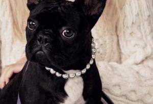 Lady Gaga pup - Miss Asia Kinney