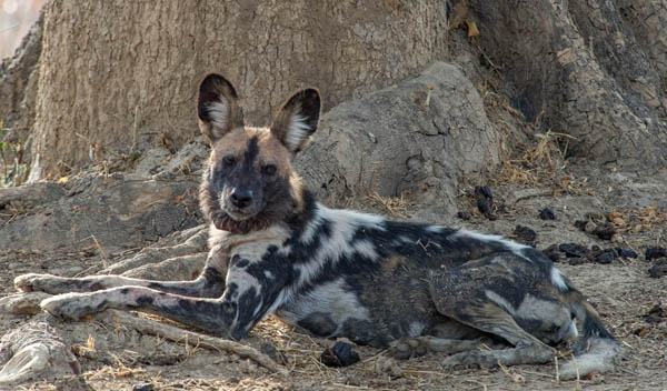 photographing wild dogs of south luangwa zambia